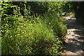 SX8963 : Verge near Cockington Court by Derek Harper