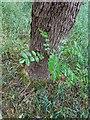 TF0820 : Sprouting Hazel by Bob Harvey