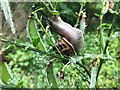 SK4934 : Snail feasting on a broom plant by David Lally
