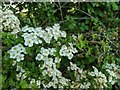 TF0820 : Hawthorn in hedgerow - 36 by Bob Harvey