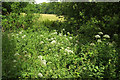 ST2232 : Hemlock water dropwort, Fyne Court by Derek Harper