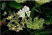 H5472 : Elder flower blossoms, Bracky by Kenneth  Allen