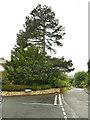 SE2747 : Tall pine tree on Strait Lane, Huby by Stephen Craven