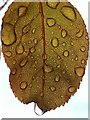 SS8377 : Raindrops on roseleaf by Alan Hughes