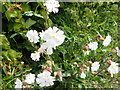 SJ1159 : Hedgerow flowers - White Campion by Eirian Evans