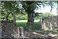 ST2398 : Beech tree in field off Mynydd Llwyd Common by M J Roscoe