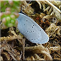 NJ3663 : Small Blue Butterfly (Cupido minimus) by Anne Burgess