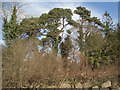 SS8877 : Scots pine, Merthyr Mawr by eswales