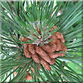 NT2469 : Male Pine cones by M J Richardson