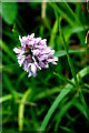 TL2654 : Orchid in Waresley Wood by Tiger