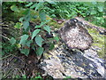 NT2470 : Rotting log in the Hermitage of Braid by M J Richardson