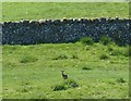 NT9811 : Hare by a dry stone wall by Russel Wills