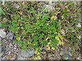 NJ3357 : Alpine Lady's Mantle (Alchemilla alpina) by Anne Burgess