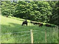 SE1007 : Bullocks on a hillside above Digley reservoir by Christine Johnstone