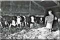 TF4008 : Checking his bullocks at Seadyke Farm by The Humphrey Family Archive