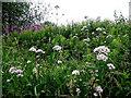 H4772 : Wild flowers, Mullaghmore by Kenneth  Allen