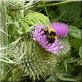 SK6648 : Bumblebee on thistle flower by Alan Murray-Rust