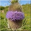SK6143 : Teasel flower (Dipsacus fullonum), Gedling Country Park by Alan Murray-Rust