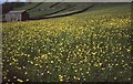 SD8998 : Field of buttercups at Thwaite by Philip Halling