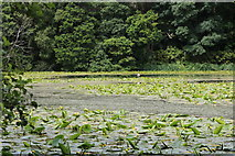 NS2209 : Lily Pads at the Swan Pond, Culzean Country Park by Billy McCrorie