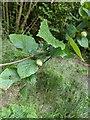 TF0820 : Hazel Nuts by Bob Harvey
