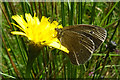 NJ3857 : Ringlet Butterfly on Catsear by Anne Burgess