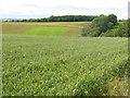 NT5568 : Winter wheat near Gifford by M J Richardson