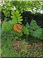 TF0820 : Sorbus sp. by Bob Harvey