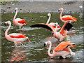SD4314 : Chilean Flamingos at Martin Mere by David Dixon