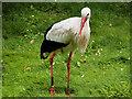 SD4314 : White Stork (Ciconia ciconia) at Martin Mere by David Dixon