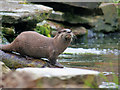 SD4214 : Otter at Martin Mere by David Dixon