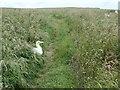 TA1774 : Gannet on Headland Way, Buckton cliffs by Christine Johnstone