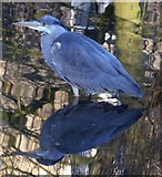 SE6250 : Heron below Derwent Weir by DS Pugh