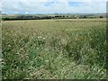 TA0771 : Wheat growing on the eastern flanks of White Hill by Christine Johnstone