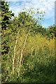 SX9491 : Hemlock, Pyne's Hill by Derek Harper