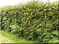 SK6254 : Honeysuckle  (Lonicera periclymenum) near Combs Farm by Alan Murray-Rust
