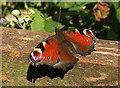SX8864 : Peacock butterfly near Cockington by Derek Harper