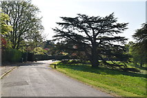 TQ5839 : Fine tree, Calverley Park by N Chadwick