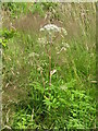 NT2159 : Wild Angelica - Angelica sylvestris by M J Richardson