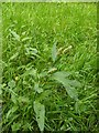 TF0820 : Persicaria maculosa by Bob Harvey