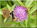 SJ8156 : Bee on a knapweed flower by Stephen Craven