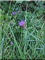 TF0820 : Centaurea nigra by Bob Harvey