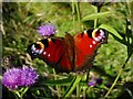 NS5093 : Peacock butterfly by Richard Sutcliffe