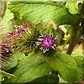 SK7251 : Burdock (Arctium lappa) in flower by Alan Murray-Rust