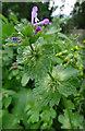 NJ3457 : Henbit Dead-nettle (Lamium amplexicaule) by Anne Burgess