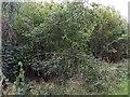 TF0820 : Several bent Hazel stems by Bob Harvey