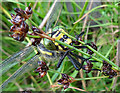 NJ0136 : Gold-ringed Dragonfly (Cordulegaster boltonii) by Anne Burgess