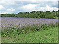 NZ2472 : Field of Purple Tansy (Phacelia tanacetifolia)  near Weetslade Country Park by Geoff Holland