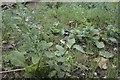 SK9918 : Solanum Nigrum by Bob Harvey