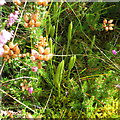 NT6361 : Clubmoss in the Lammermuir Hills by M J Richardson